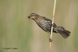 Red - winged Blackbird (f)