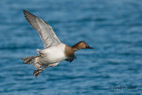 Canvasback (f)