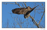 Chouette lapone/Great gray Owl1P6AI6163B.jpg