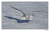 Harfang des neiges/Snowy Owl1P6AD4921B.jpg