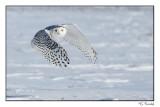 Harfang des neiges/Snowy Owl1P6AI5009B.jpg