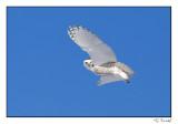 Harfang des neiges/Snowy owl1P6AI9061B.jpg