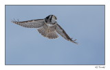Chouette épervière/Northern Hawk Owl1P6AF2657A.jpg