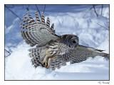 Chouette rayée/Barred Owl1P6AJ0360B.jpg