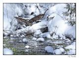 Chouette rayée/Barred Owl1P6AJ1722B.jpg