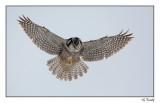 Chouette Épervière/Northern Hawk Owl1P6AD9228B.jpg