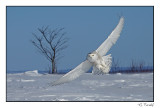 Harfang des neiges/Snowy Owl1P6AJ1928B.jpg