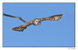 Chouette rayée/Barred Owl1P6AJ2190B.jpg
