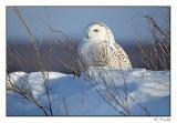 Harfang des neiges/Snowy Owl1P6AI9258B.jpg