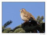 Bruant à joues marron/Lark Sparrow1P6AM5258B.jpg