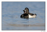 Fuligule à collier/Ring-necked Duck1P6AM4912B.jpg