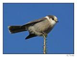 Mésangeai du Canada/Gray Jay1P6AM2138B.jpg