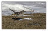 Moqueur polyglotte/Northern mockingbird1P6AN1508B.jpg