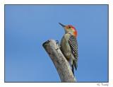 Pic à ventre roux/Red-bellied Woodpecker1P6AN2866B.jpg