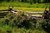 Wild Roses on Last Dollar Road