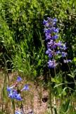 Flowers at Maroon Bells