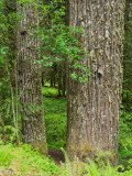 Salmon River Trail to Lookout Point, Salmon/Huckleberry Wilderness, Oregon, U.S.A. 2014 05 (May) 24