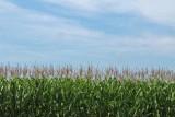 The corn is as high as an elephant's eye...