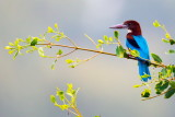 White-throated Kingfisher 白胸翡翠