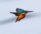 Common Kingfisher 普通翠鳥