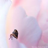 12/7 Tiny rose-loving bug at Rosengården yesterday.