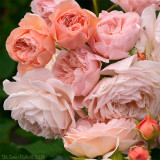 Leander roses