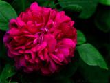 Rose de Rescht, new rose 2014