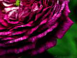 The Bishop rose, detail of the fantastic colours