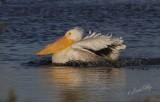 Pelicans/Comorants/Anhinga