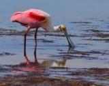 Spoonbills/Ibis/Cranes