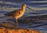 Large shorebirds/Rails