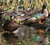 IMG_9731preening ducks.jpg