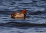 IMG_0038red head duck.jpg