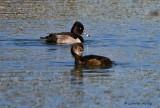 IMG_0516ring necked ducks.jpg