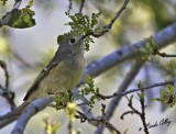 _MG_3000ruby crowned kinglet.jpg