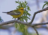 _MG_5731blue winged warbler.jpg