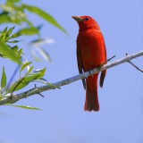 _MG_5903summer tanager.jpg