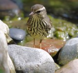 _MG_6173waterthrush.jpg