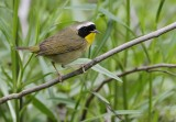 _MG_7877commn yellowthroat male.jpg