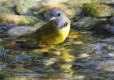 _MG_9217mourning warbler.jpg