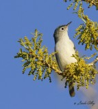 _MG_3556bg gnatcatcher.jpg