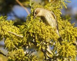 _MG_3588yellow rumped warbler.jpg