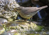 _MG_6158waterthrush.jpg