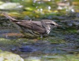 _MG_6187waterthrush.jpg