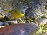 _MG_9208mourning warbler.jpg