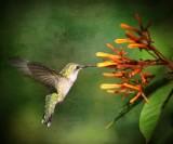 2011-2012  Hummingbirds