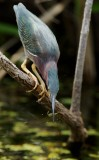 Green Heron with crawfish