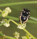 2. Stalagmosoma cynanki (Gory & Percheron, 1833)