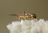 probably Eretmocera impactella (Walker, 1864)
