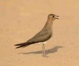 4. Black-winged Pratincole - Glareola nordmanni